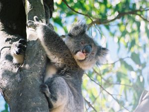 800px-Koala_Kangaroo_Island
