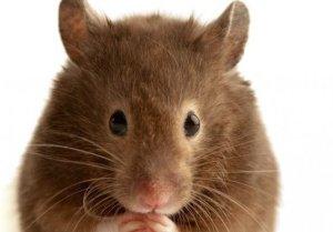 copy_copy_brown__mouse