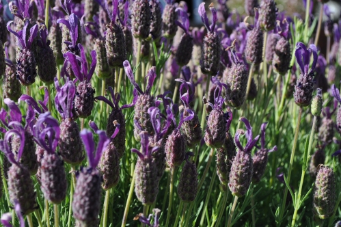 back home, Lavender in Mums garden