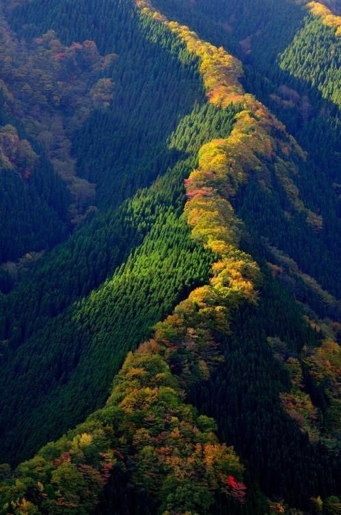 Line of maple trees along a ridge in Japan [680x1024]