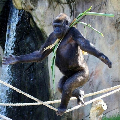 A male gorilla has taught himself how to walk a tightrope to try and impress the female at Taronga Zoo, Sydney, Australia.