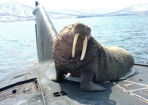 A friendly walrus on a Russian submarine 1