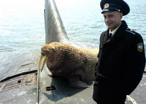 A friendly walrus on a Russian submarine 3
