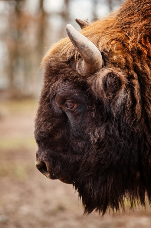 Bison profile 683×1,024 pixels