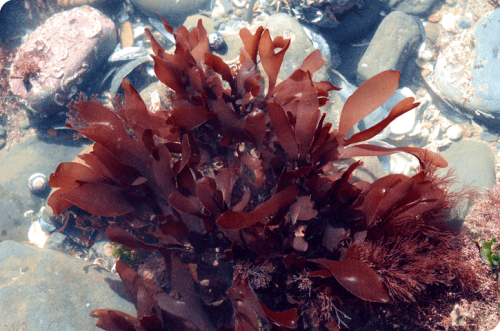 dulse-fresh