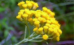 helichrysum-flowers