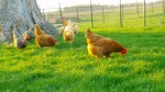 chickens_april2013
