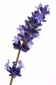 lavenderfloweremimrf-00003843-001