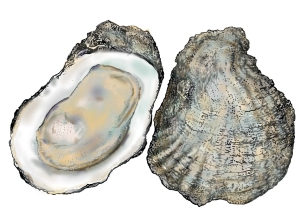oysters_hres