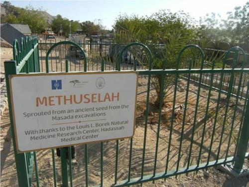 methuselah-date-plant