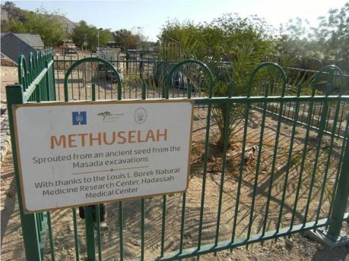 methuselah-date-plant