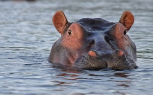 sauvage-hippopotame