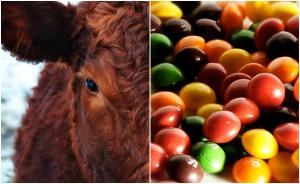 skittles-cattle